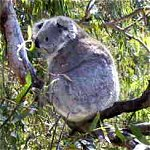Koala Conservation Centre - Accommodation Daintree