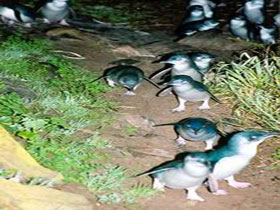 Penneshaw Penguin Centre - Accommodation Daintree