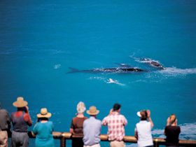 Whale Watching At Head Of Bight - Accommodation Daintree