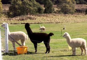 Maydena Country Cabins Accommodation  Alpaca Stud - Accommodation Daintree