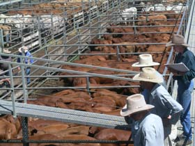 Dalrymple Sales Yards - Cattle Sales - Accommodation Daintree