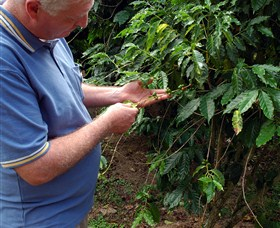 Wombah Coffee Plantation - Accommodation Daintree