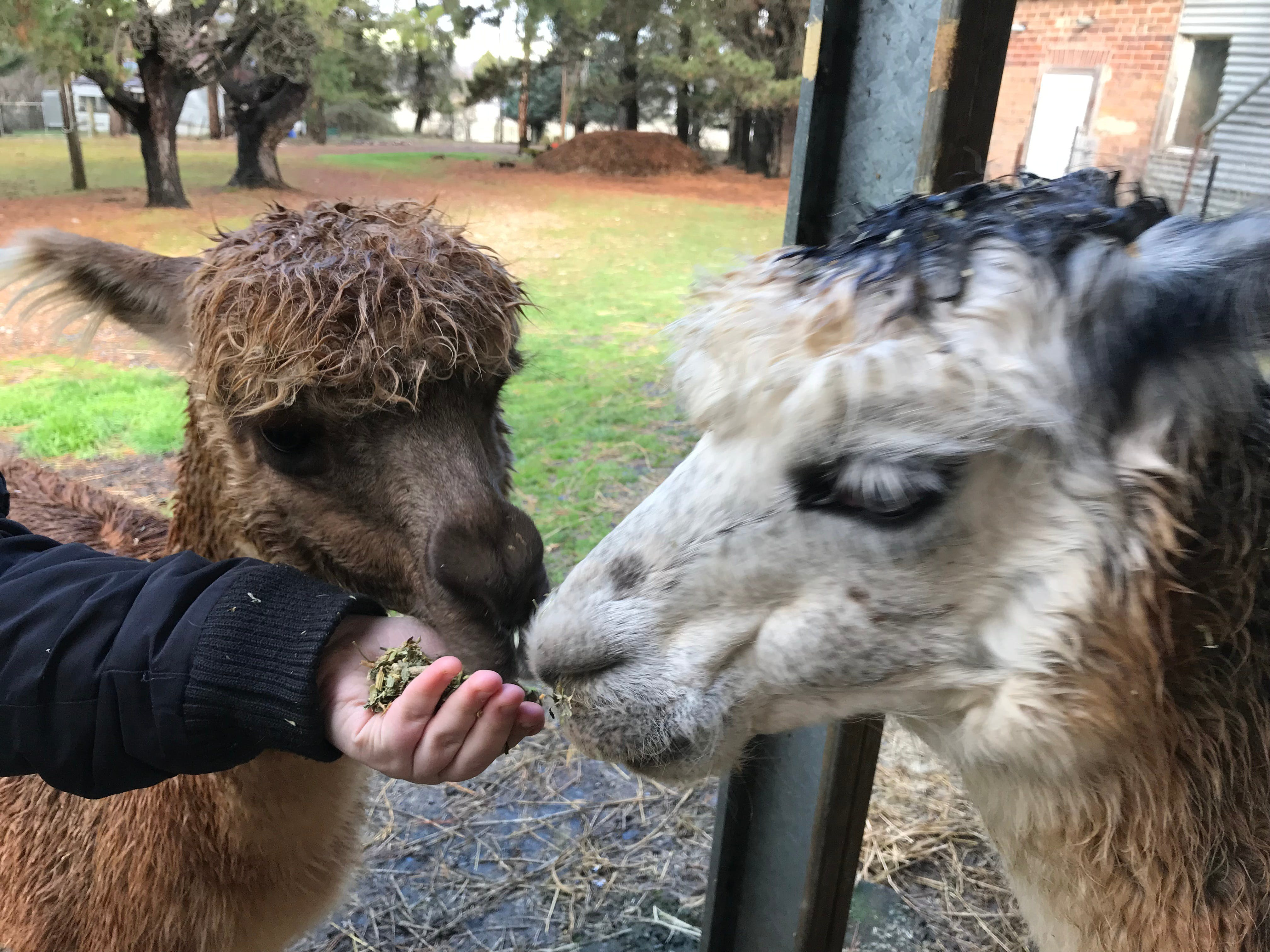 Alpaca Farm Experience at Crookwell - Accommodation Daintree